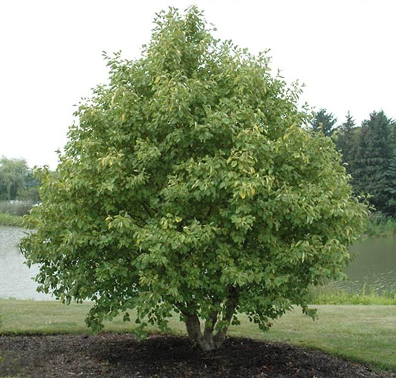 AlnusincanaAurea tree - Дерево для сауны и термообработанная древесина
