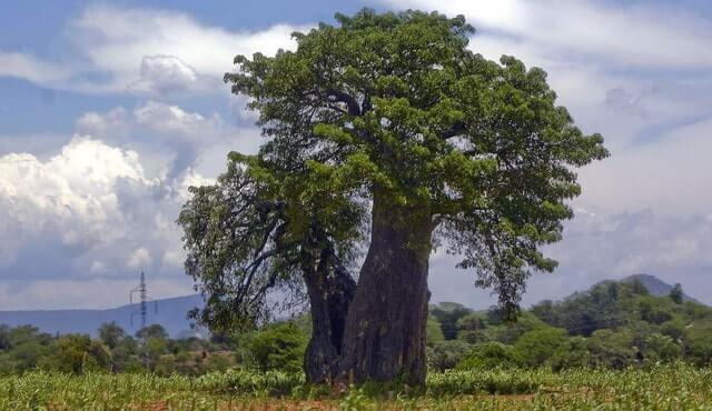 drevesina abashi 2 - Дерево для сауны и термообработанная древесина